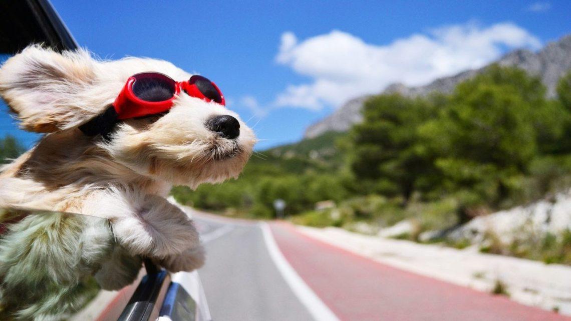 Hogyan szállítsuk a kutyát az autóban?